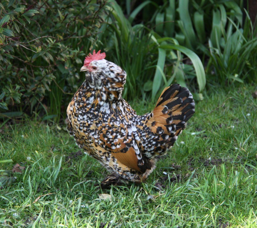 gallina ornamentale bantam (razza grande) | TuttoSulleGalline.it