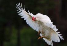 Le galline sanno volare?