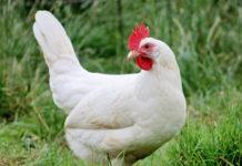 La gallina ovaiola livornese bianca | TuttoSulleGalline.it