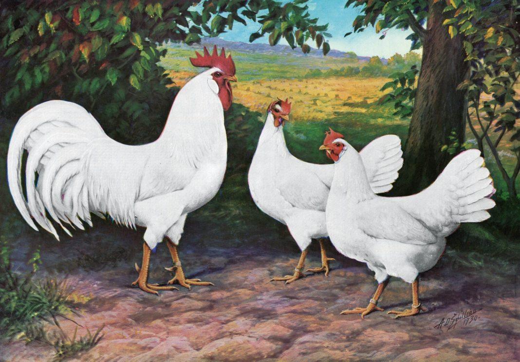 Rappresentazione di gallo e gallina di razza Livornese (colorazione bianca)