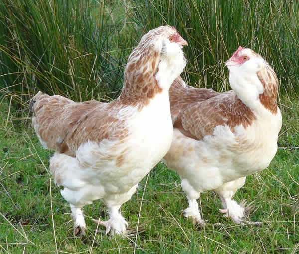 galline ornamentali faverolles (razza grande) | TuttoSulleGalline.it