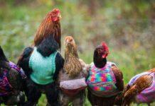 Maglioncini di lana per galline reduci dall'allevamento in batteria | TuttoSulleGalline.it