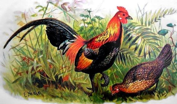 Gallus Gallus - gallo rosso