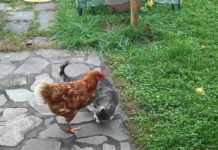 Galline vs Gatti: 2 video divertenti mentre giocano!