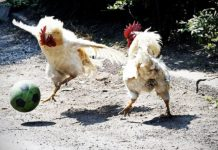 Video divertenti di galline | TuttoSulleGalline.it