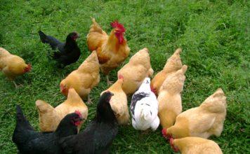 Le migliori razze di galline ovaiole | TuttoSulleGalline.it