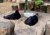 Bagni di sabbia e cenere per le galline del nostro pollaio | TuttoSulleGalline.it