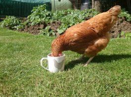 L'acqua nel pollaio: come gestire l'abbeveratoio per le tue galline   TuttoSulleGalline.it