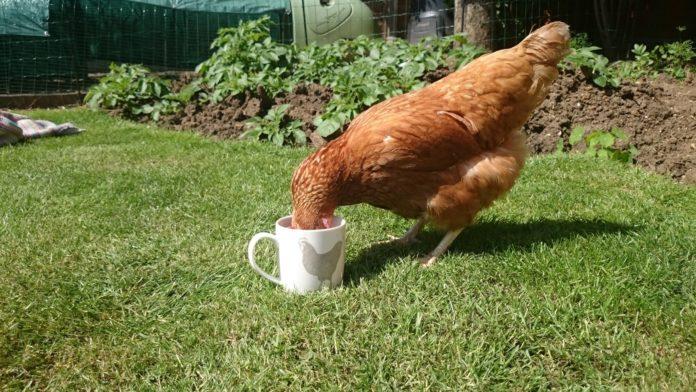 L'acqua nel pollaio: come gestire l'abbeveratoio per le tue galline | TuttoSulleGalline.it