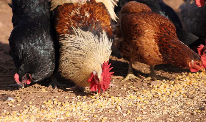 La corretta alimentazione delle galline ovaiole | TuttoSulleGalline.it