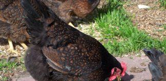 Barnevelder, la bella gallina ovaiola di razza olandese | TuttoSulleGalline.it