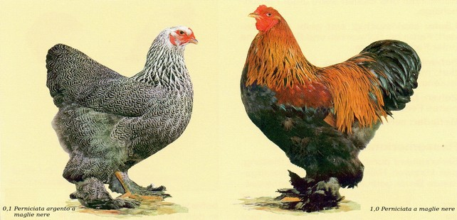 Esemplari di gallina e gallo brahma in un disegno dello standard FIAV