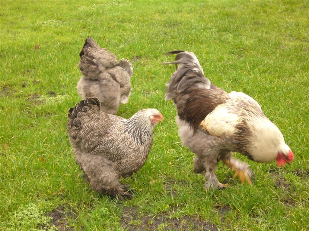 Gallo brahma perniciato argento a maglie blu; gallina brahma perniciato argento a maglie nere.