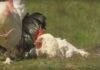 Etologia di galli e galline. La vita emotiva degli animali | TuttoSulleGalline.it