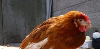 Ritenzione dell'uovo nella gallina: sintomi e rimedi | TuttoSulleGalline.it