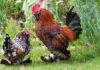 Galline ornamentali razza bantam