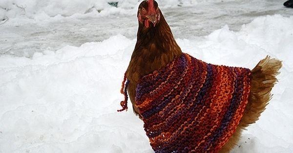 Gallina con il magioncino di lana per ripararsi dal freddo