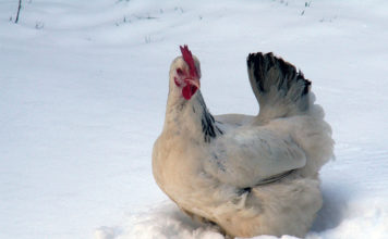 Gennaio pollaio, ovvero come gestire il pollaio in inverno | TuttoSulleGalline.it