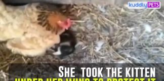La gallina cova il gattino | TuttoSulleGalline.it