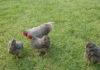 Amrock: ottima gallina ovaiola, socievole e ornamentale | TuttoSulleGalline.it