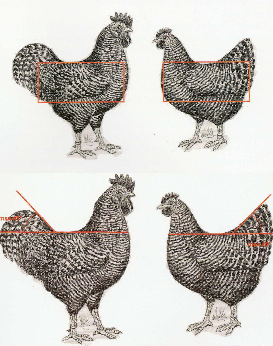 Disegno per riconoscimento gallina ovaiola di razza Amrock