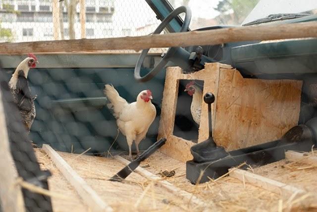 Galline vivono nella loro auto-pollaio