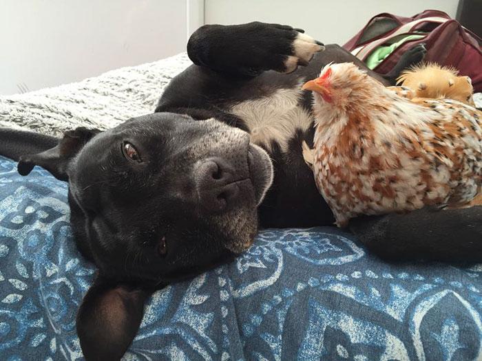 Gallina Mumble con il cane