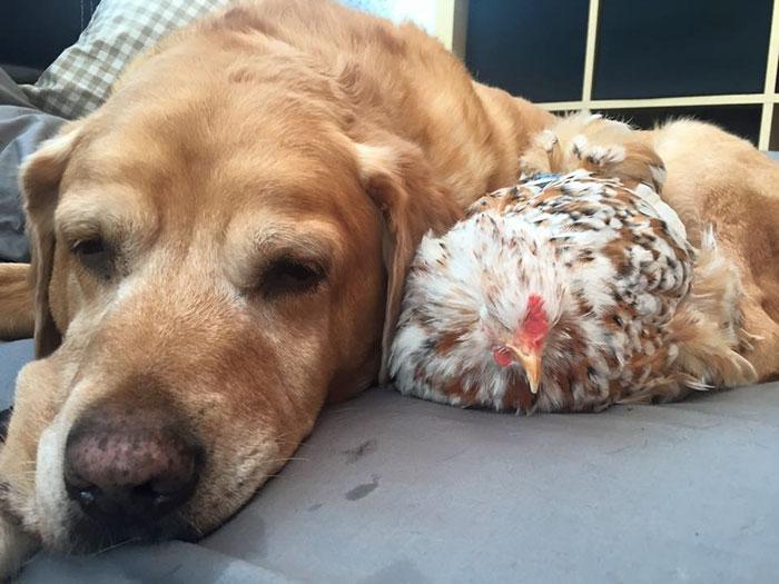 Gallina Mumble dorme vicina al cane
