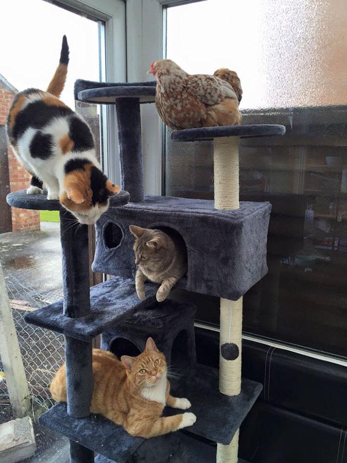 Gallina Mumble gioca con i gatti di casa
