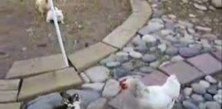 Video divertente di galline, temibili tutrici dell'ordine   TuttoSulleGalline.it