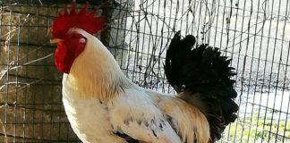 Il gallo Carmelo del pollaio di Sara | Tuttosullegalline.it
