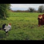 Gallo attacca mucca (video divertente) | Tuttosullegalline.it