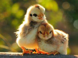 Come nascono i pulcini | Tuttosullegalline.it