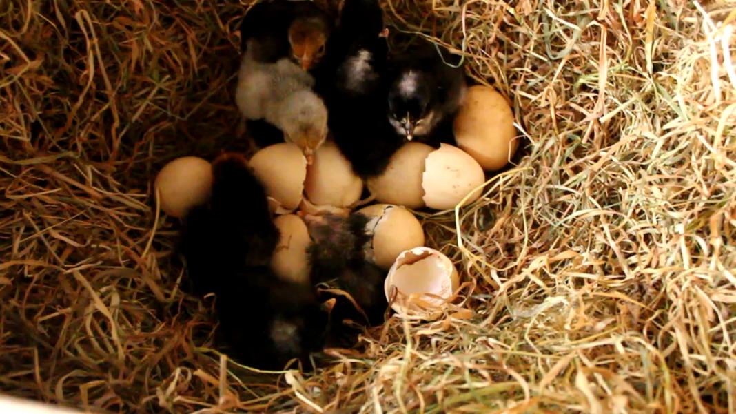 Schiusa multipla e nascita di molti pulcini