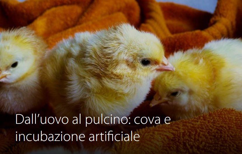 Corso 2 - Dall'uovo al pulcino: cova e incubazione artificiale