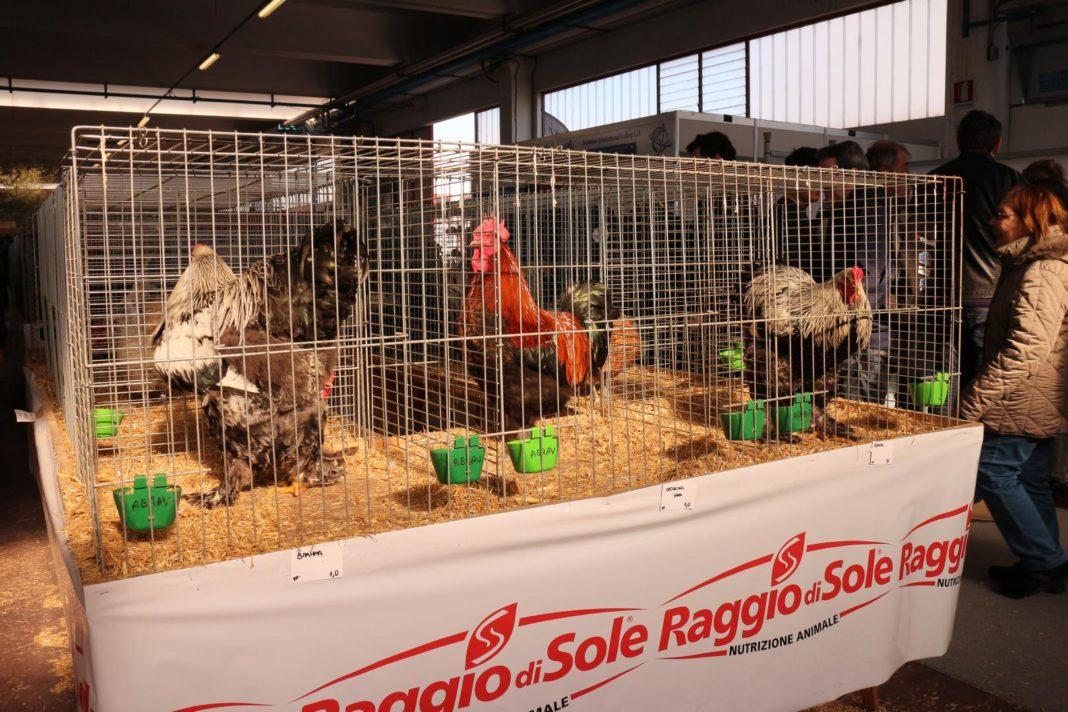 Mostra galline ornamentali FIAV