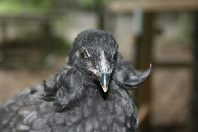 Araucana (o Mapuche): gallina ornamentale dalle uova blu   Tuttosullegalline.it