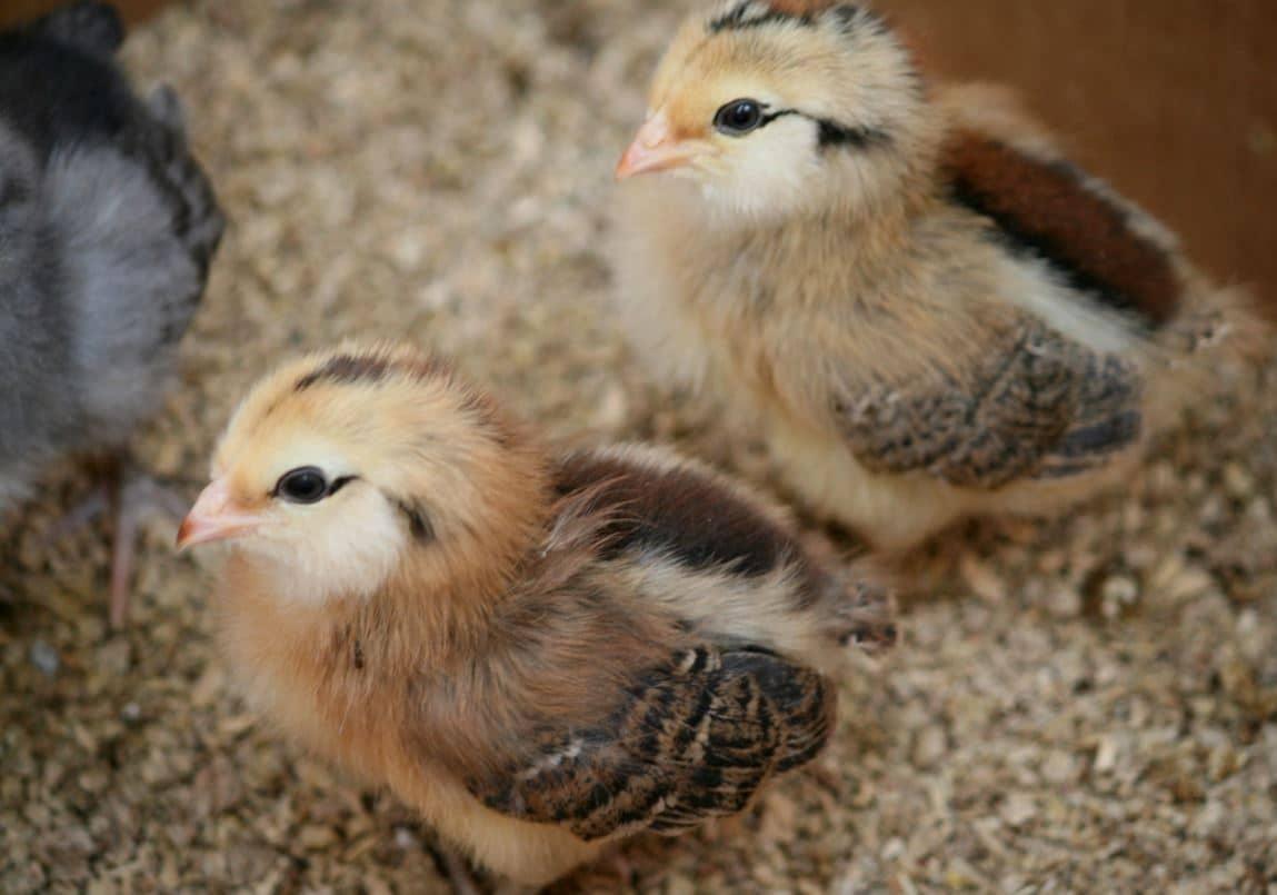 Galline dalle uova blu