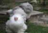 Cocincina nana e gigante: la regina delle galline ornamentali | Tuttosullegalline.it