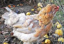 La muta delle galline (naturale e forzata) | Tuttosullegalline.it