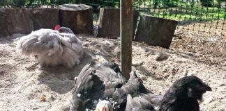 Come curare le galline da pidocchi pollini, acari e pulci | Tuttosullegalline.it