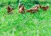 Rimedi naturali per la cura e il benessere delle galline | Tuttosullegalline.it