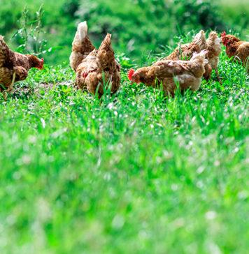 Rimedi naturali per la cura e il benessere delle galline   Tuttosullegalline.it