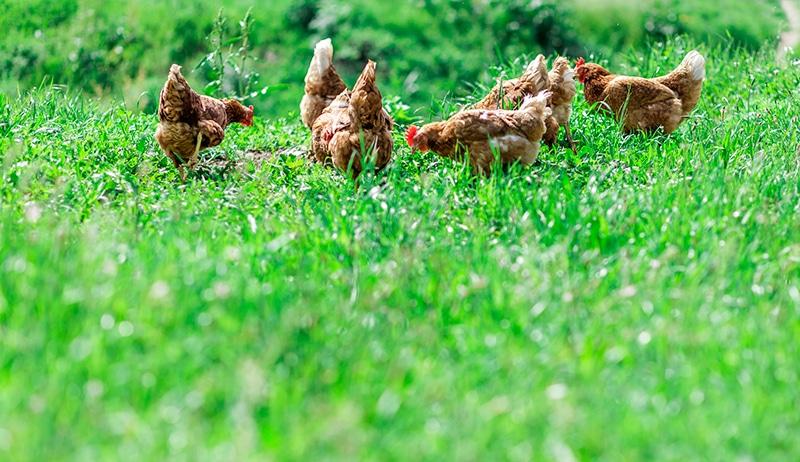Un 39 erboristeria nel pollaio rimedi naturali per la cura e for Erba per prato che non si taglia