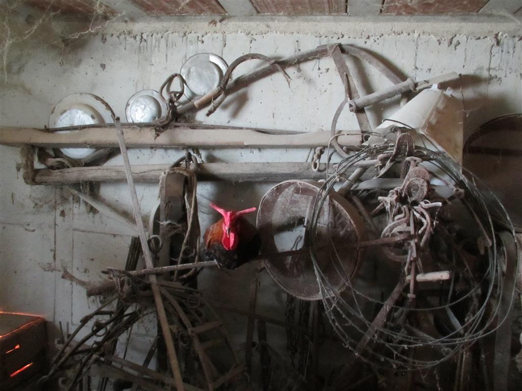 Gallo Cornuto di Caltanissetta (a corna di bue) all'interno di un'antica stalla di buoi