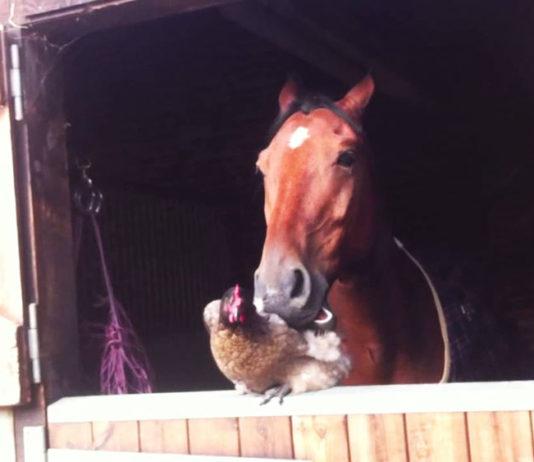 Video divertenti di galline e cavalli | Tuttosullegalline.it