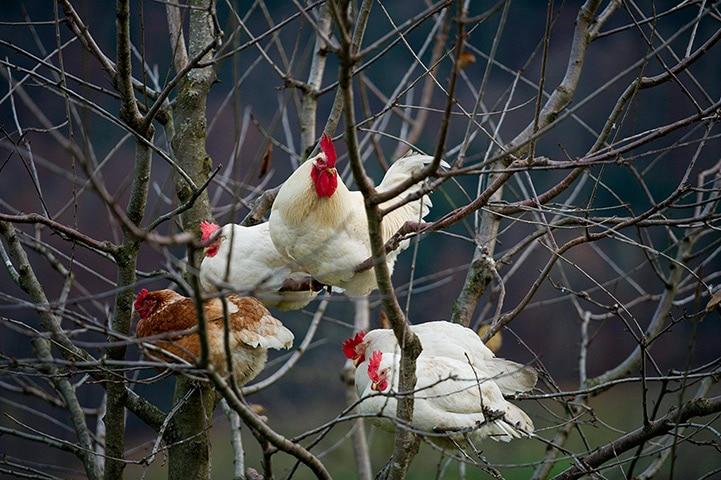 Galline sui rami di un albero
