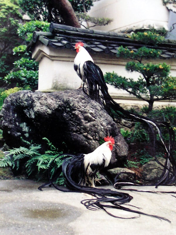 Galli Onagadori in un tipico contesto di giardino in stile giapponese