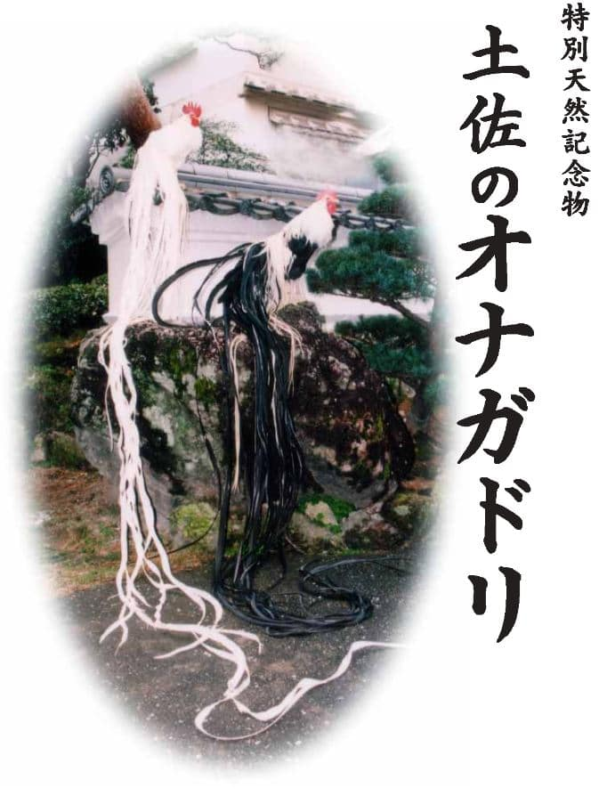 Immagine classica di esemplari di galli Onagadori
