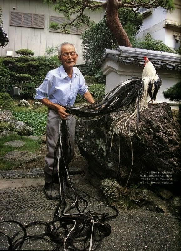 Gallo Onagadori con il SignorMasanori Tajima
